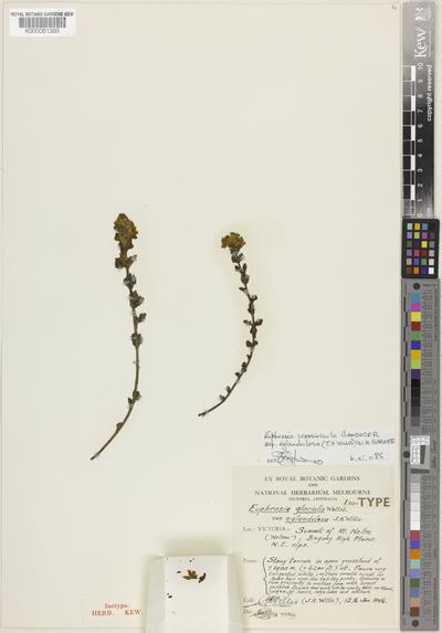 Euphrasia crassiuscula Gand. subsp. egladulosa W.R.Barker