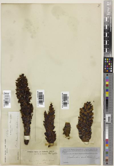 Kopsiopsis strobilacea (A.Gray) Beck