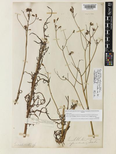 Erechtites valerianifolius (Link ex Spreng.) DC.