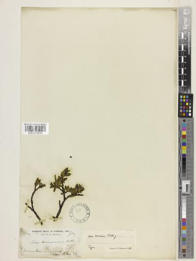 Salix monica Bebb