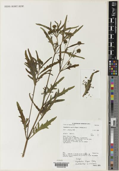 Sigesbeckia fugax Pedley