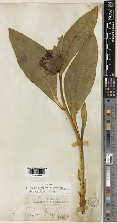 Wyethia glabra A.Gray