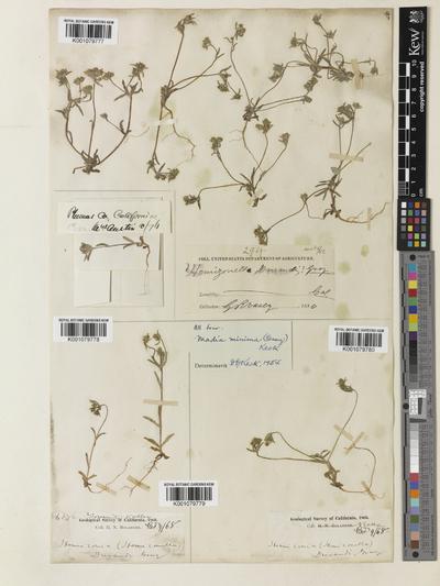 Madia minima (A. Gray) D.D. Keck