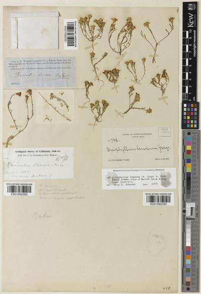 Eriophyllum lanosum A.Gray