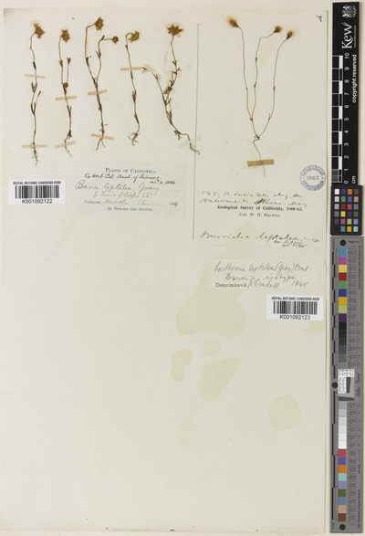 Lasthenia leptalea (A.Gray) Ornduff