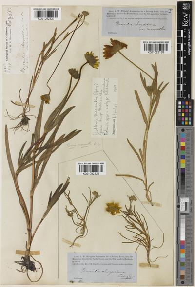 Lasthenia macrantha (A.Gray) Greene subsp. macrantha