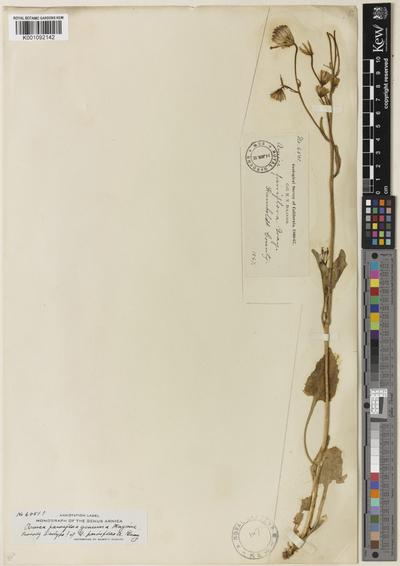 Arnica parviflora A.Gray