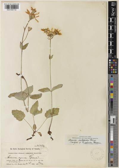 Arnica latifolia Bong.