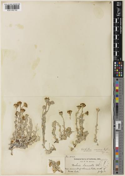 Eriophyllum lanatum (Pursh) J.Forbes var. integrifolium (Hook.) Smiley