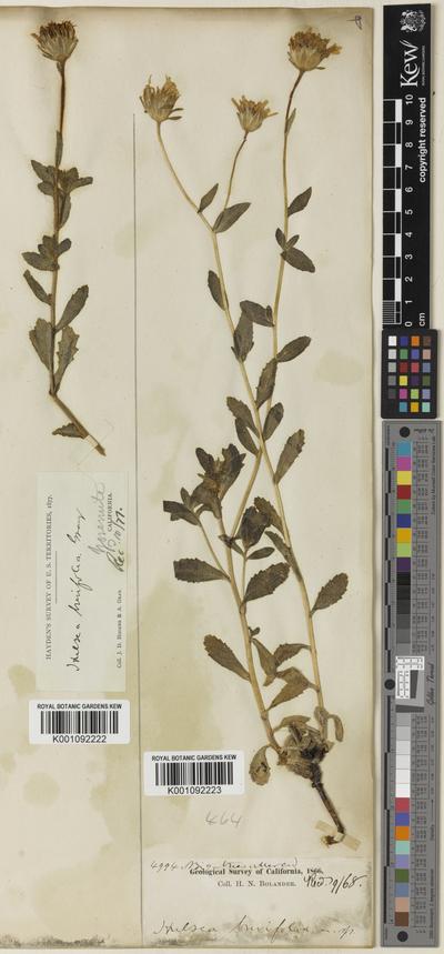Hulsea brevifolia A.Gray