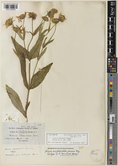 Arnica amplexicaulis Nutt. subsp. amplexicaulis