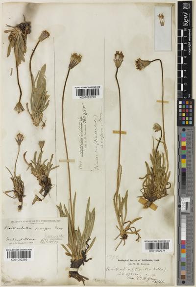 Raillardella scaposa A.Gray