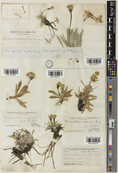 Raillardella argentea A.Gray