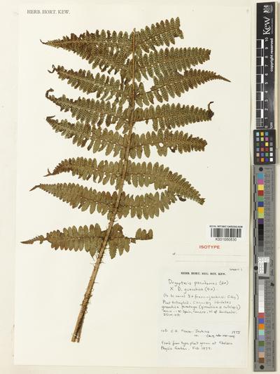 Dryopteris pseudomas (Woll.) Holub & Pouzar