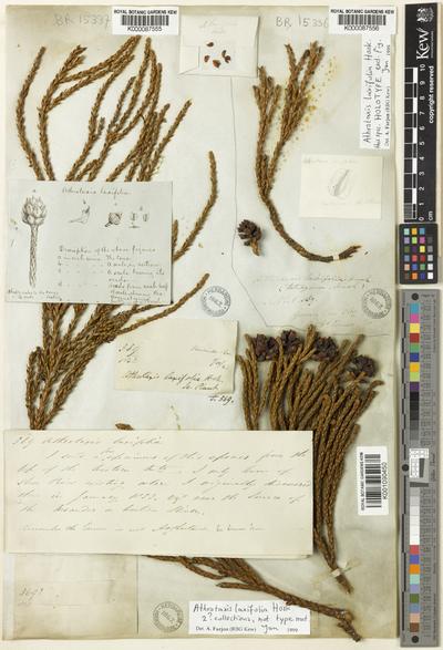 Athrotaxis laxifolia Hook.