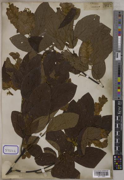Flemingia strobilifera (L.) W.T.Aiton