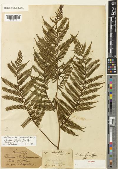 Cyathea heterochlamydea Copel.