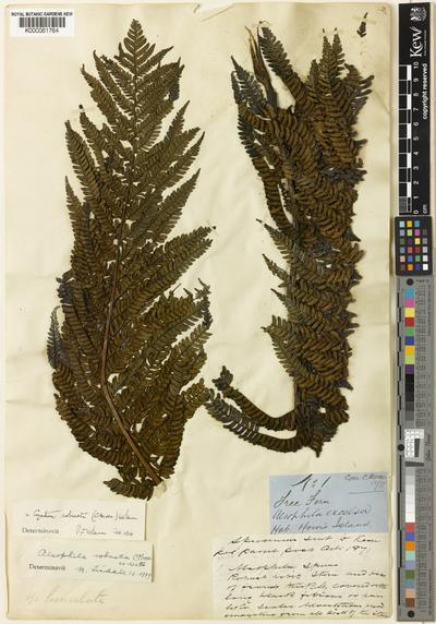 Cyathea robusta (C.Moore) Holttum