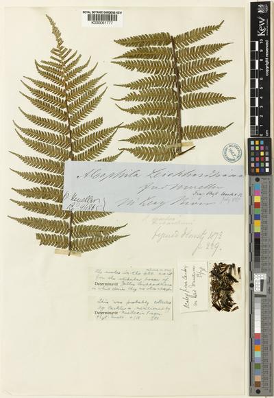 Cyathea leichardtiana (F.Muell.) Copel.