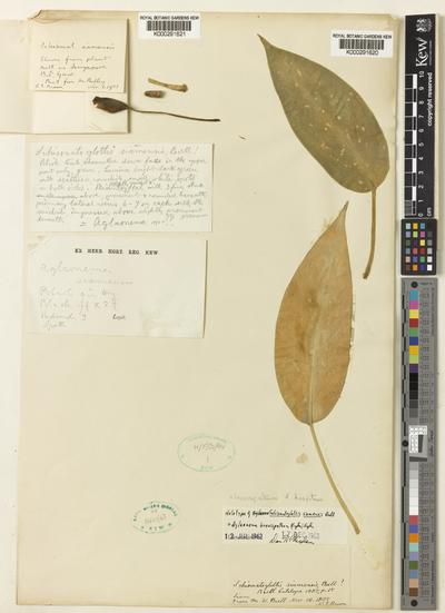 Aglaonema brevispathum Engl.) Engl.