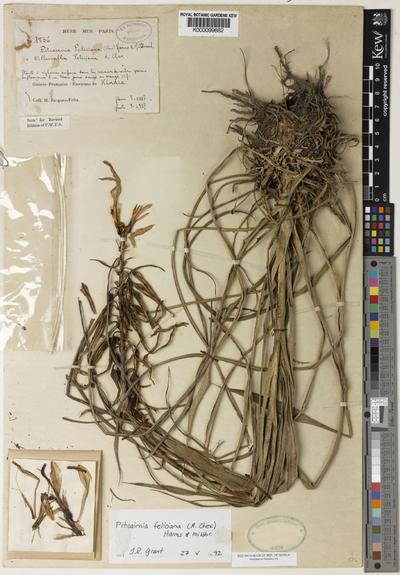 Pitcairnia feliciana (A.Chev.)Harms & Mildbr.