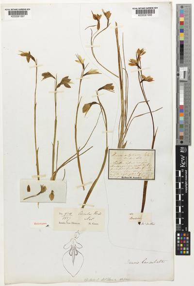 Diuris lanceolata Lindl.