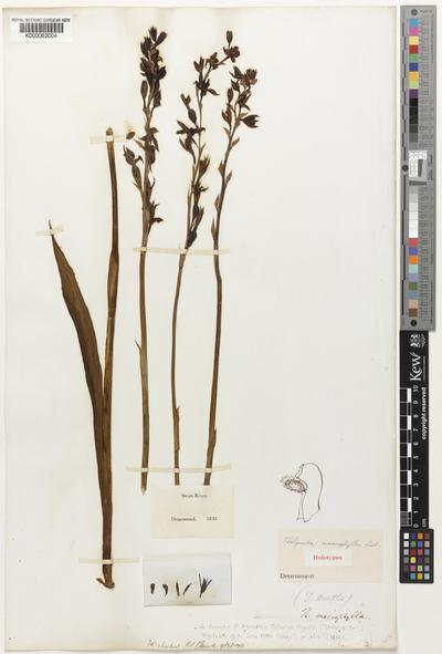 Thelymitra macrophylla Lindl.