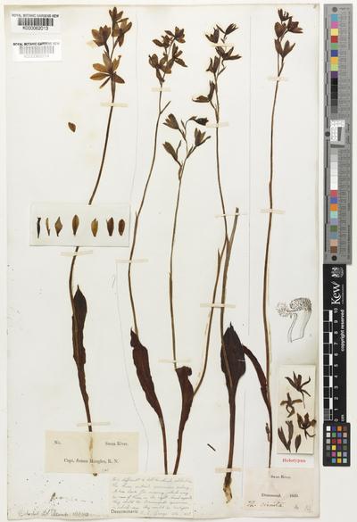 Thelymitra crinita Lindl.