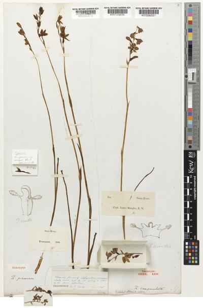 Thelymitra campanulata Lindl.