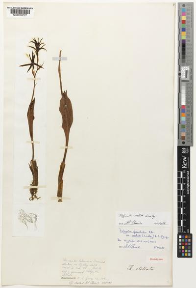 Thelymitra stellata Lindl.
