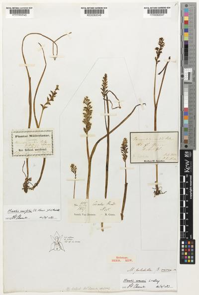 Microtis pulchella  var. vivax Lindl.