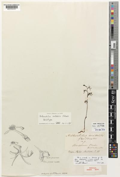Arthrochilus irritabilis F.Muell.