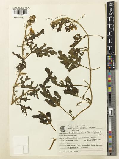 Lyperanthus suaveolens R.Br.