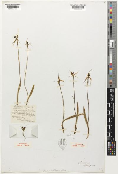Caladenia clavigera A.Cunn. ex Lindl.