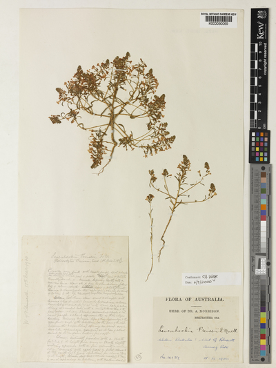 Levenhookia preissii (Sond.) F.Muell