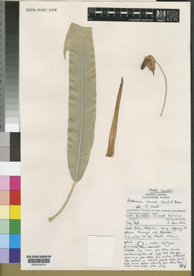 Anthurium brenesii Croat & Baker