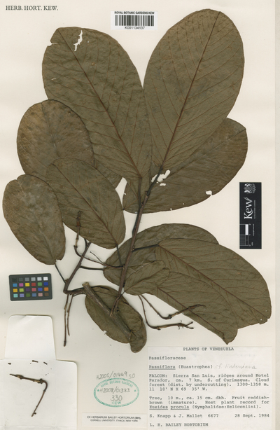 Passiflora lindeniana Planch. ex Triana & Planch.