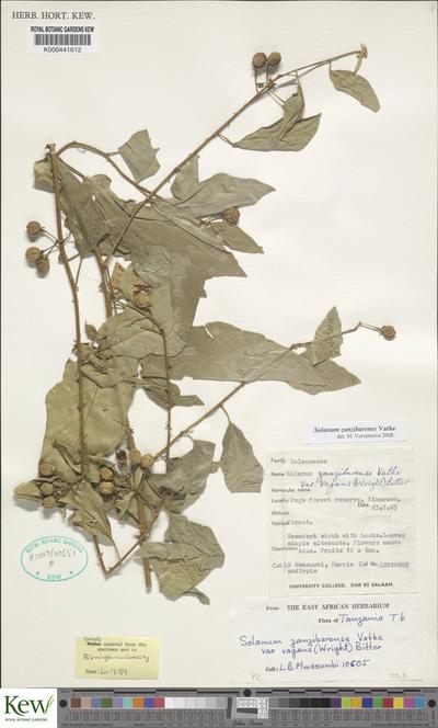 Solanum zanzibarense Vatke