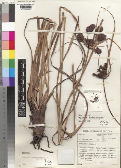 Cyperus drakensbergensis (Vorster)