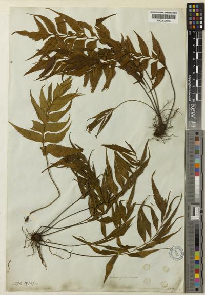 Asplenium macrophyllum