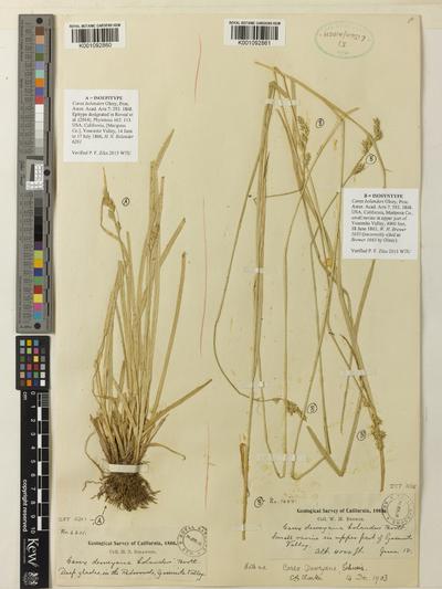 Carex bolanderi Olney