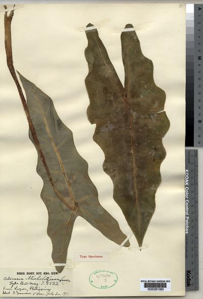 Alocasia micholitziana Sander