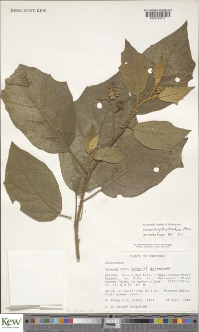 Solanum erythrotrichum Fernald