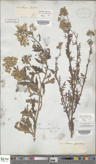 Solanum pinnatum Cav.