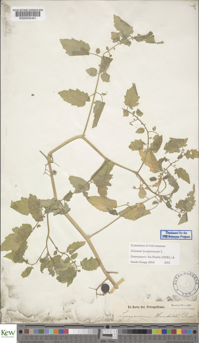 Solanum lycopersicum L.