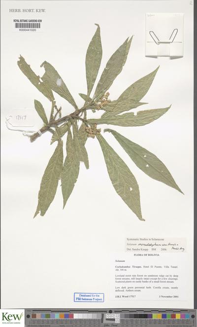 Low dark green perennial herb. Corolla cream, mostly deflexed. Anthers cream.