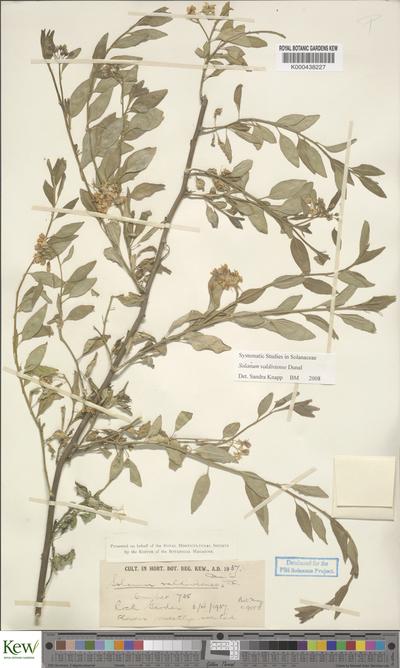 Solanum valdiviense Dunal