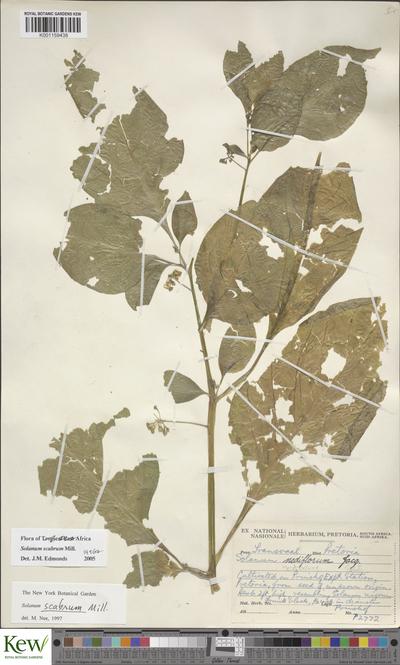 herb 2 ft high, resembling Solanum nigrum; fruits black, 1/2 inch in diameter