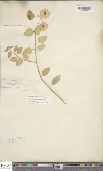 Solanum umbelliferum Eschsch.