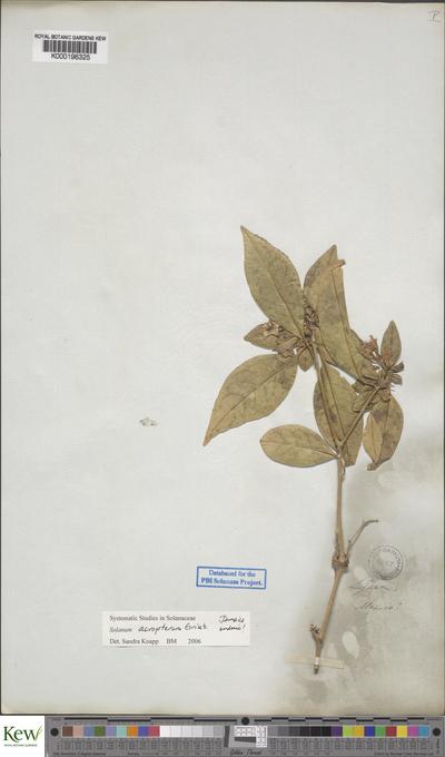 Solanum acropterum Griseb.